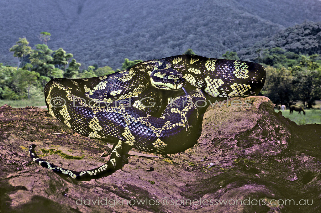 Jungle Carpet Python basks in morning sun at edge of paddock