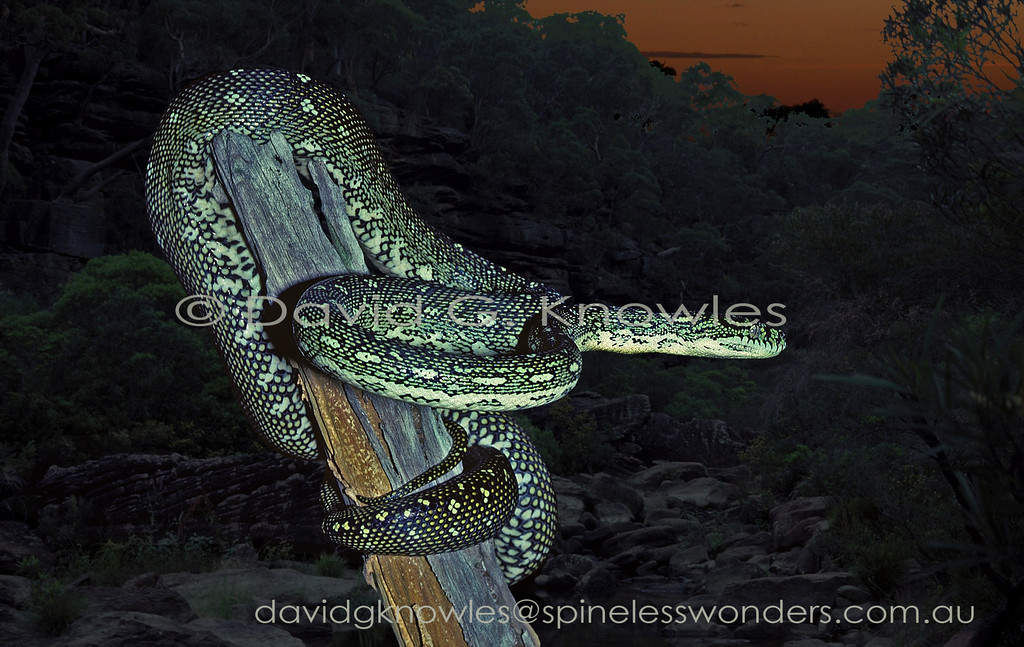 Diamond Python begins to forage at dusk