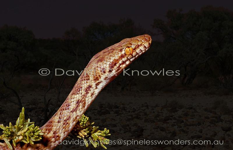 Pygmy Python starts to forage after dusk
