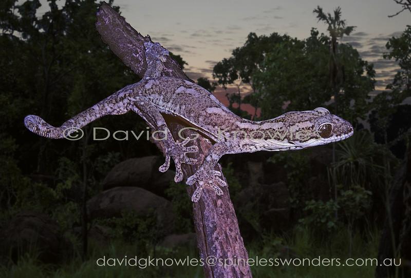 Giant Tree Gecko spies prey