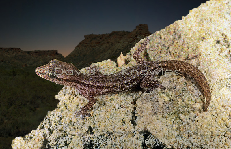 Cape Range Clawless Gecko emerges after sundown to forage