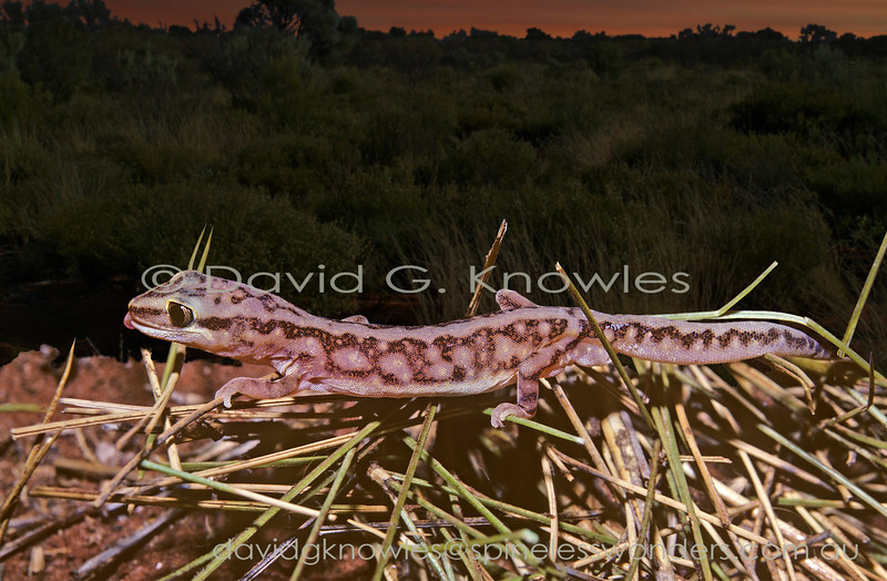 Pale-snouted Ground Gecko cleans eye on way to home burrow at dawn