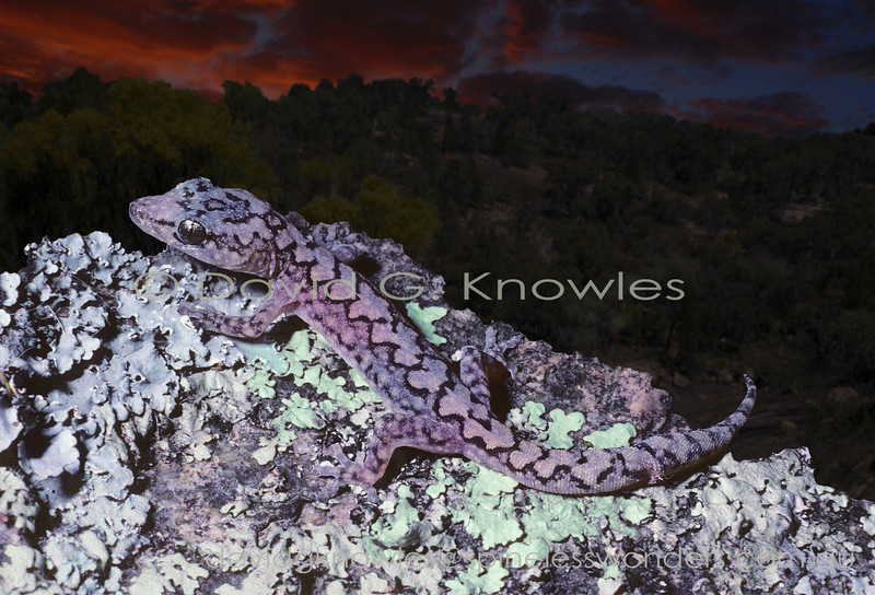 Lesueur's Velvet gecko scans for prey at dusk