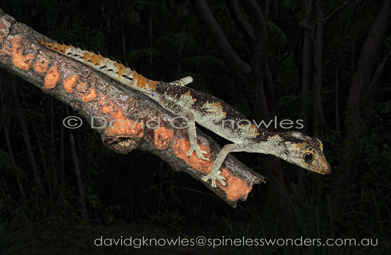 Northern Spiny-tailed Gecko spies prey