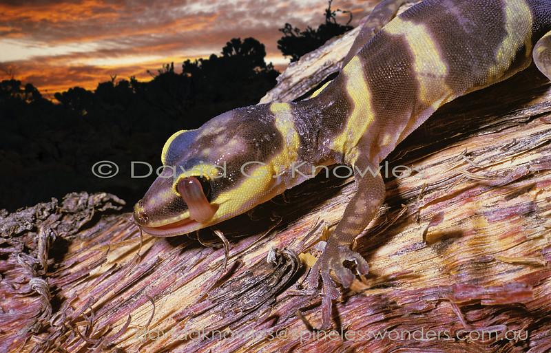 Juvenile Western Marbled Velvet Gecko cleaning eye