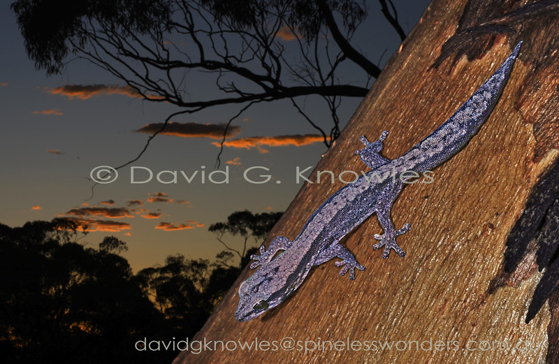 Reticulated Velvet Gecko returns to crevice at dawn