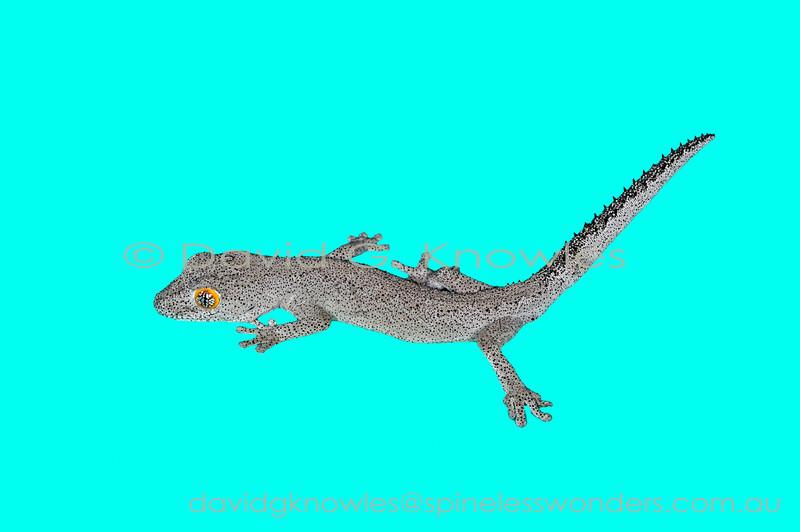 Subadult Yellow-eyed Spiny-tailed Gecko