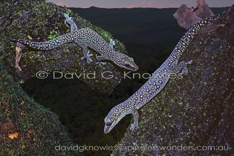 Southern Spotted Velvet Geckos meeting at dusk