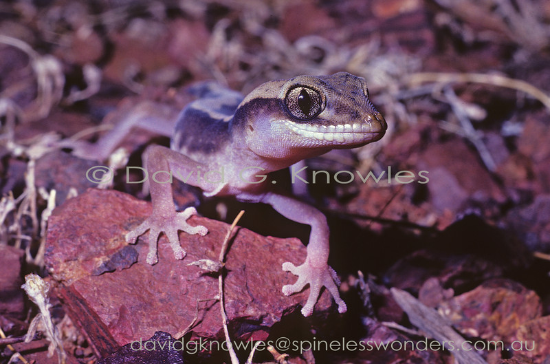 Western Stone Gecko on the prowl