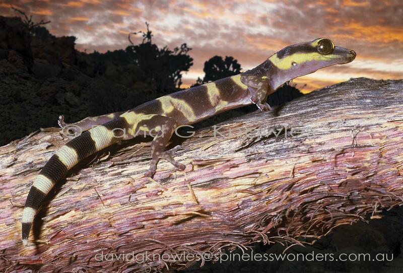 Juvenile Western Marbled Velvet Gecko showing banded pattern