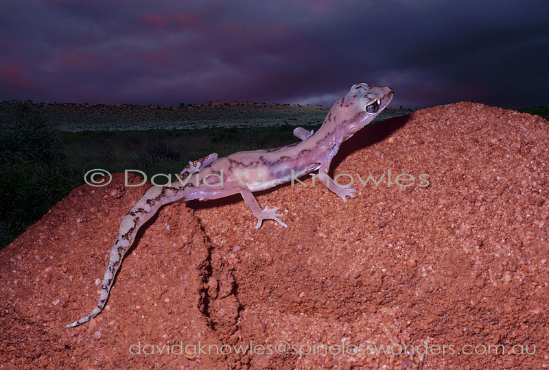 White-spotted Ground Gecko emerges from burrow at dusk to forage