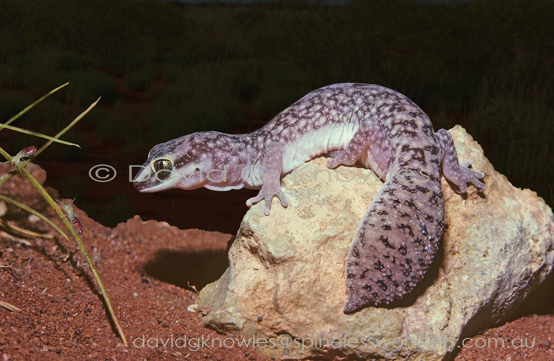 Western Fat-tailed Gecko about to consume termites