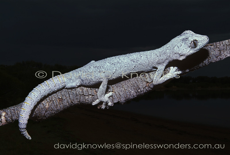 Western Ring-tailed Gecko displaying yellow repugnatorial glands