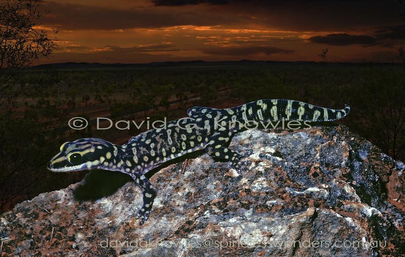 Cogger's Velvet Gecko foraging at dusk