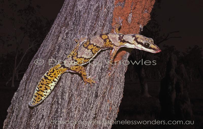 Northern Velvet Gecko starts to clean eye