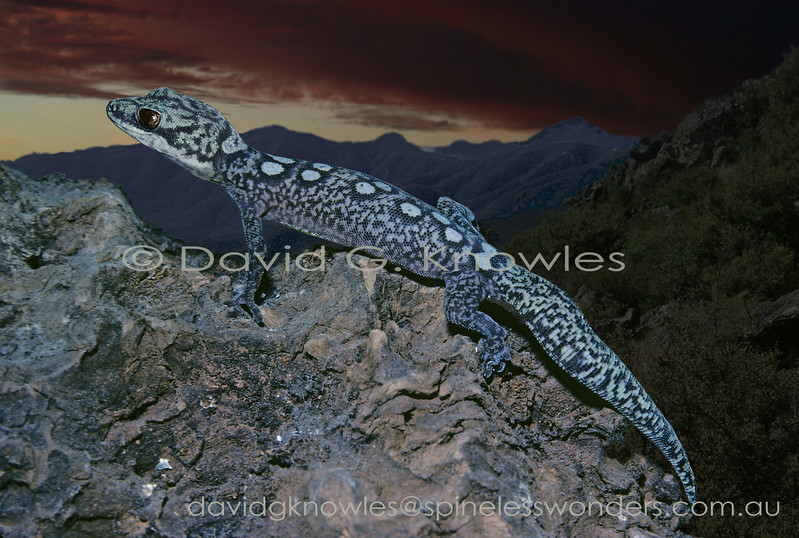Ocellated Velvet Gecko returns to crevice at dawn