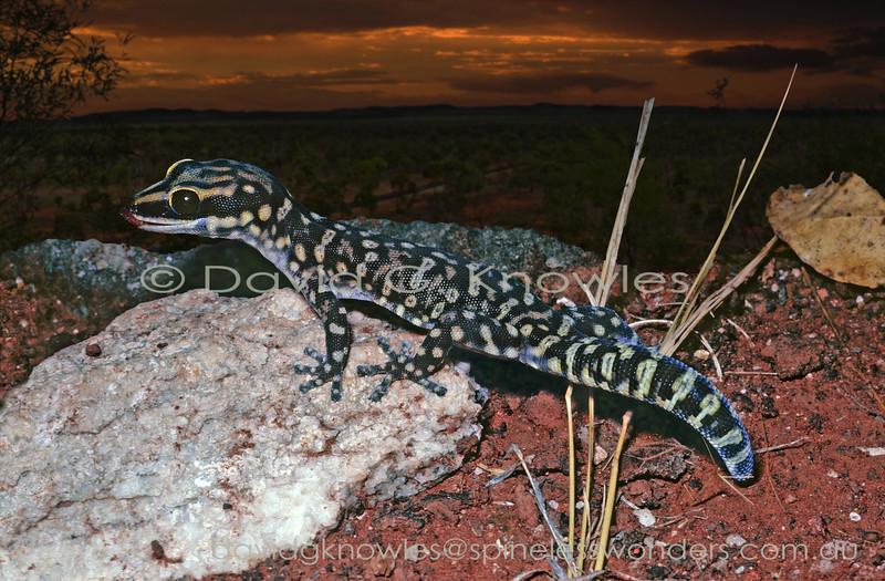 Cogger's Velvet Gecko finishes cleaning eye