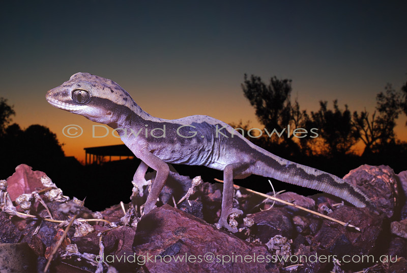 Western Stone Gecko returns to burrow at dawn