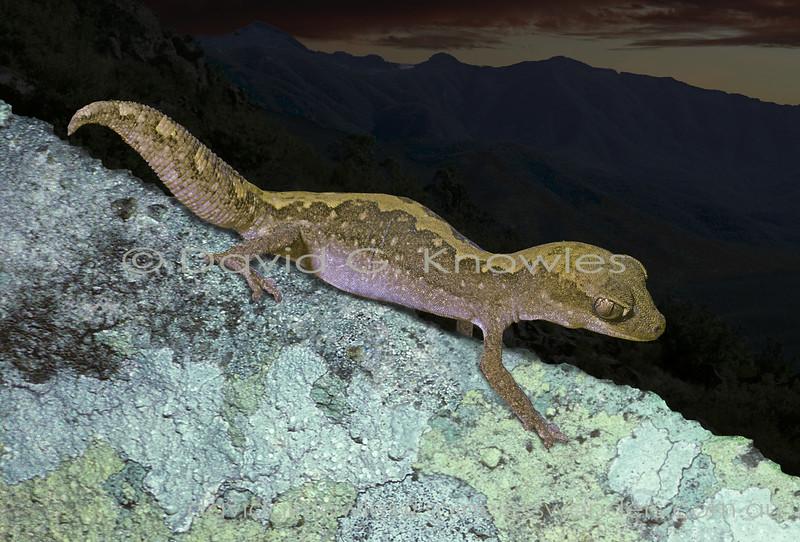 Eastern Stone Gecko senses prey at dusk