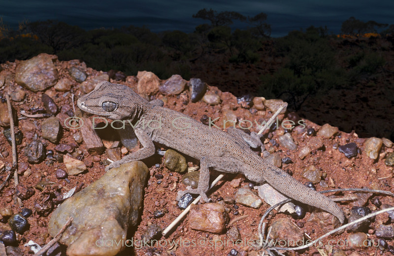 Wilson's Spiny-tailed Gecko begins to forage at dusk