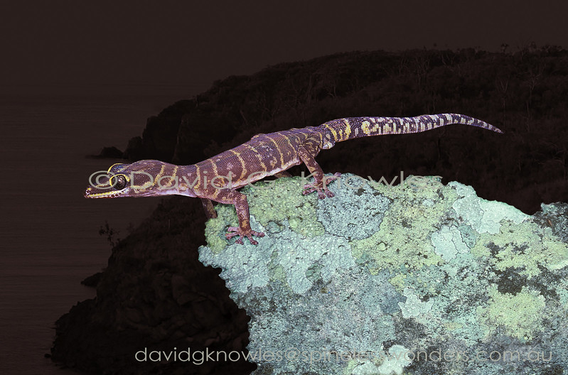 Gracile Velvet Gecko surveys territory