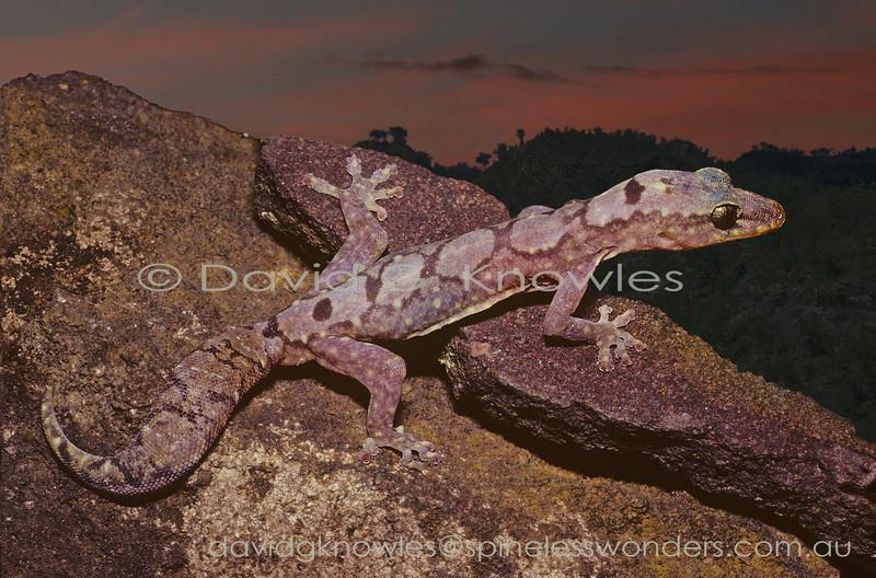Robust Velvet Gecko emerges at dusk to forage
