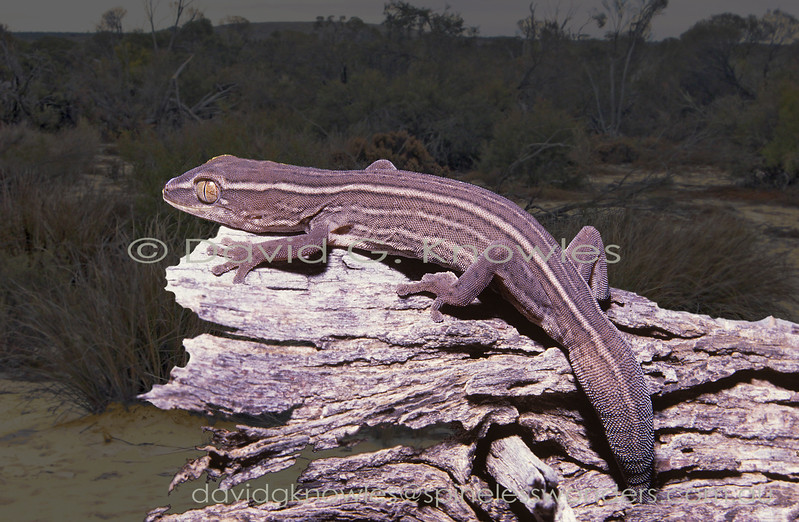 Robust Tail-squirter Gecko basks in late afternoon sun