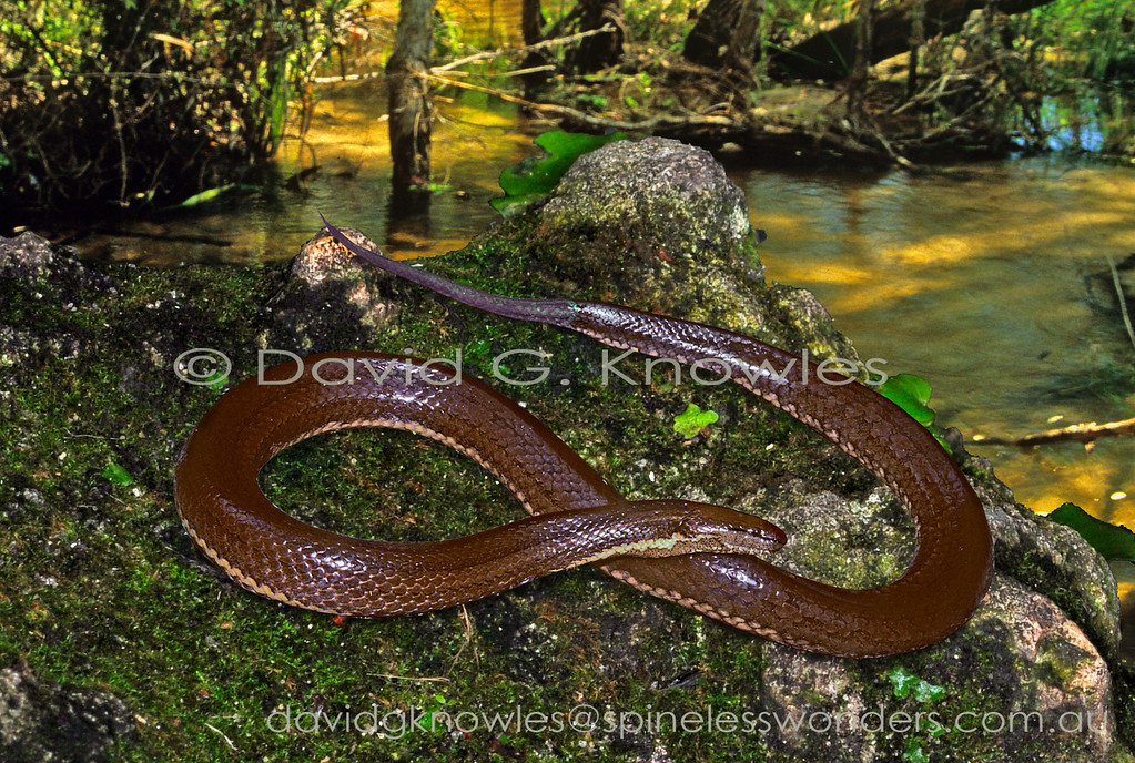 Macleay's Water Snake emerges to bask on creekside stone