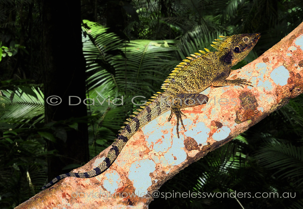 Male Twin-crested Anglehead Dragon basks in rainforest glade