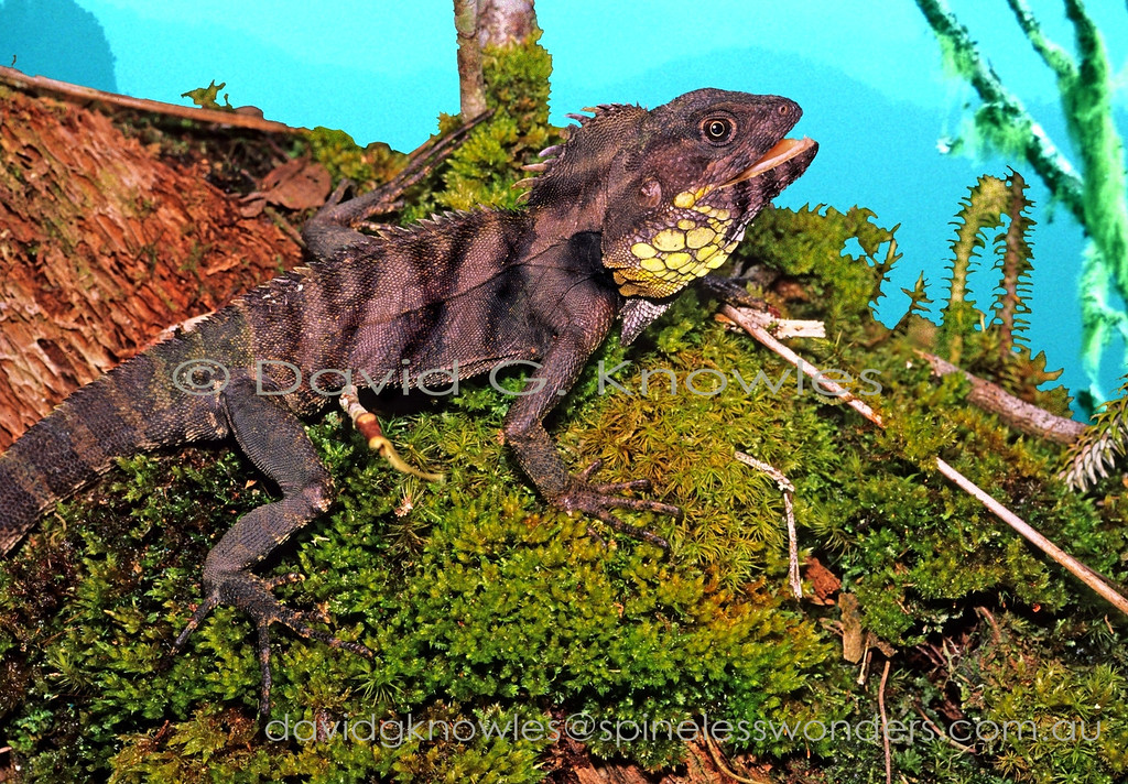 Male Papuan Highland Forest Dragon spies another male in territory