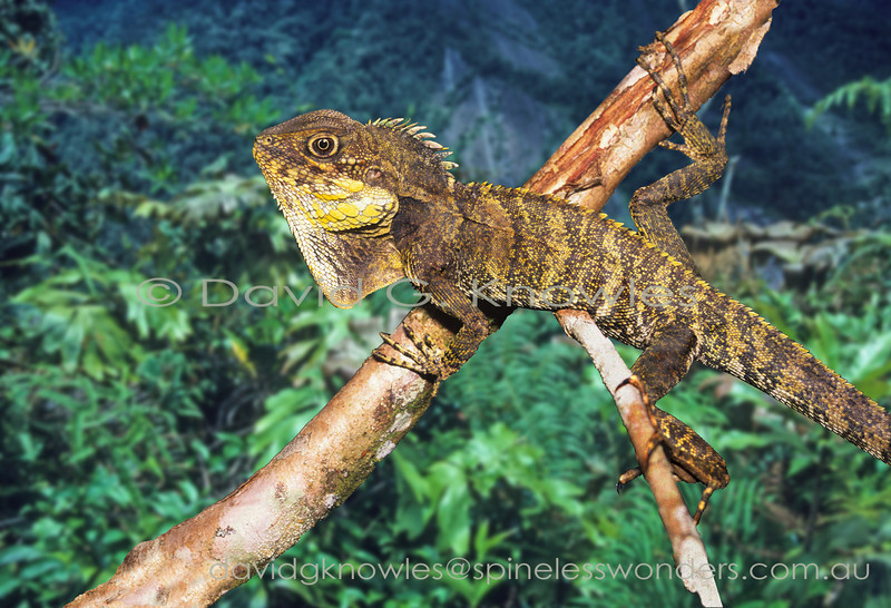 Female Papuan Highland Forest Dragon spies male territory owner