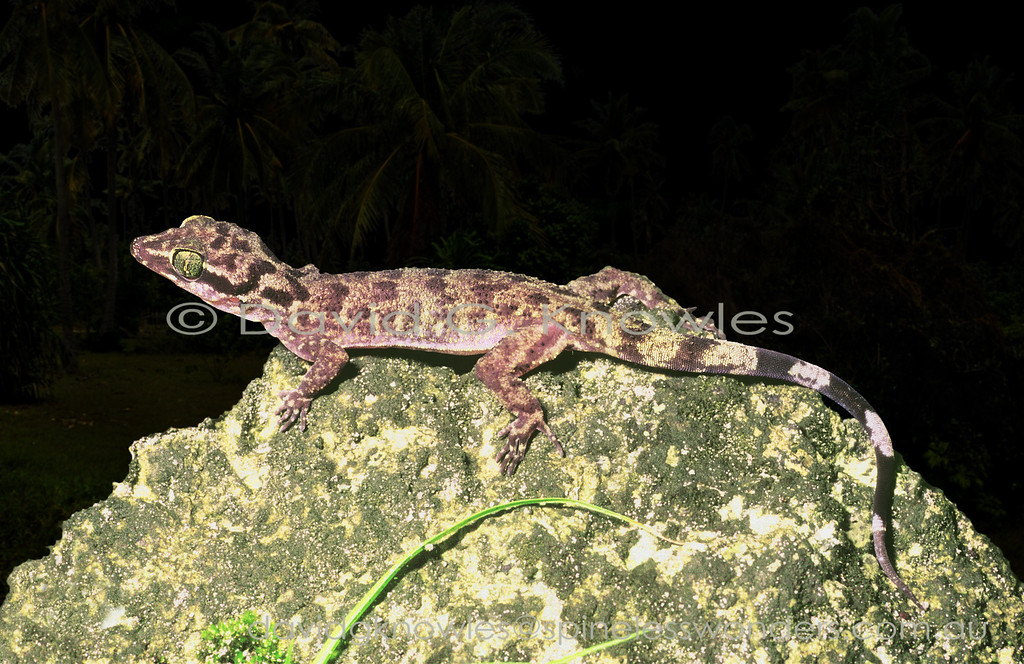 Torricelli Mountains Bent-toed Gecko foraging after dusk