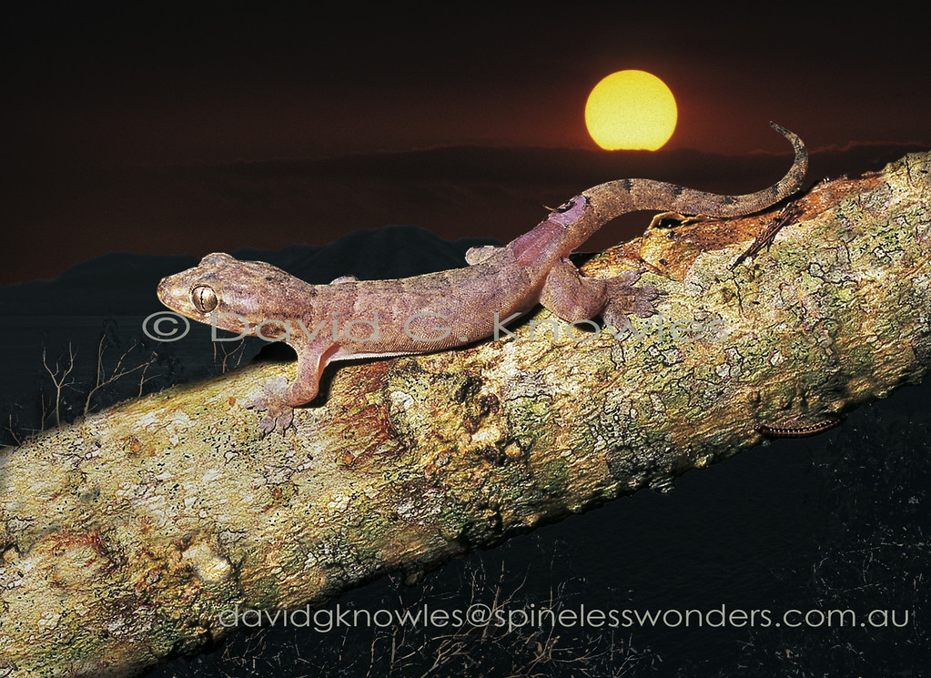 Subadult Tenderskinned Gecko showing skin damge on hips caused by a clumsy attempt at capture by photographer