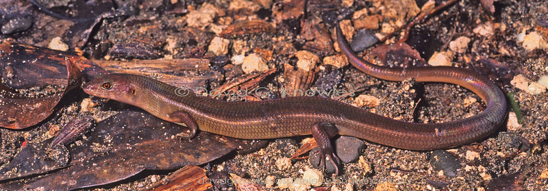 Young adult Austro-papuan Sheen Skink showing the slightest hint of juvenile barred pattern