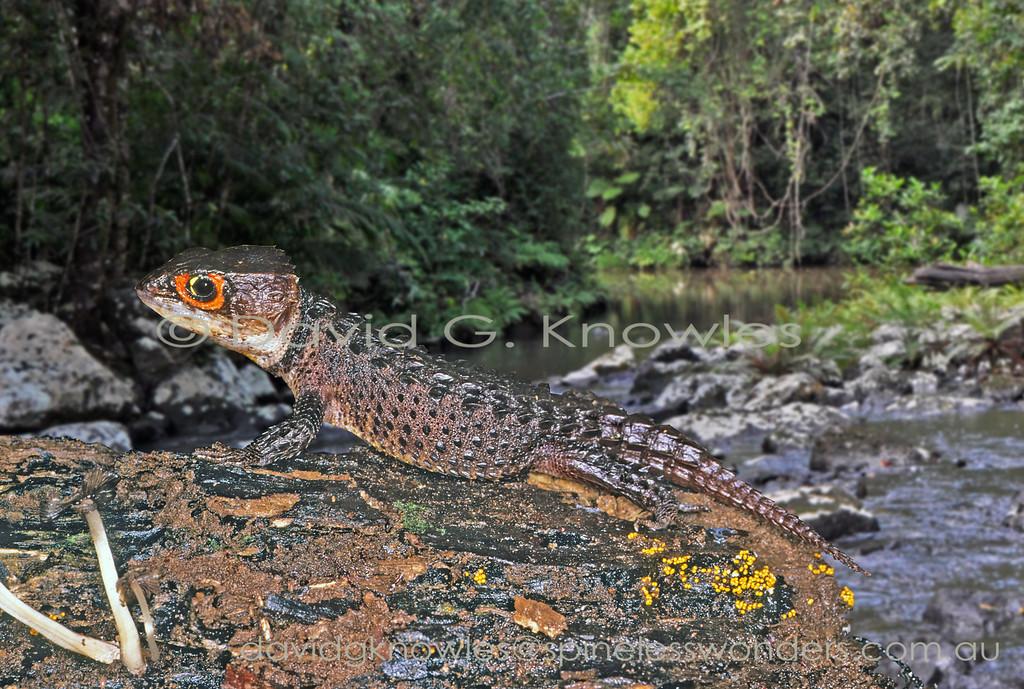 Tribolonotus gracilis Sentani West Papua Indonesia SVL to  92.0mm
