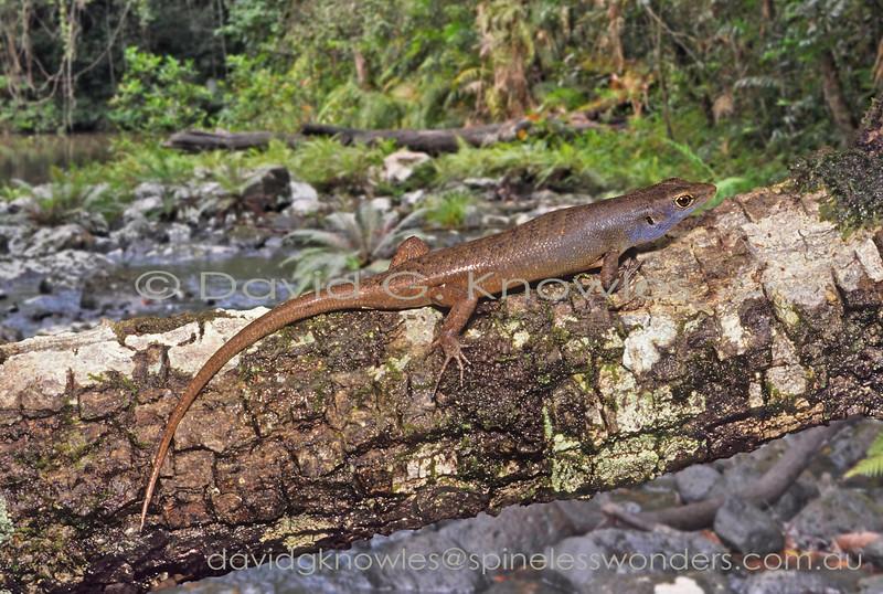 Carlia pulla Male Sentani West Papua Indonesia SVL to 60.0mm