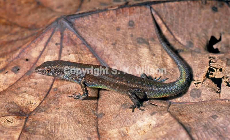 Lygisaurus novaeguineae Wara Sera Research Station Papua SVL to 31.0mm May Copyright S. K. Wilson