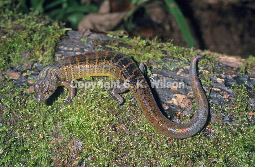 Austro-papuan Sheen Skink showing barred pattern that is steadily lost with age in many populations. However in some populations juvenile pattern is retained. I am uncertain as to whether this phenomenon is sex linked or dominant in insular populations