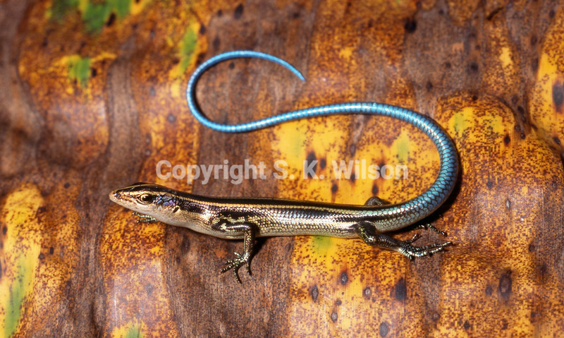 New Guinea Blue-tailed Emo Skink