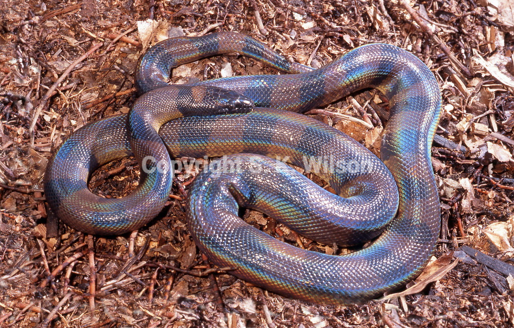 The Bismarck Ringed Python occurs on many islands in the Bismark Archipelago (New Britain and New Ireland) east of Papua