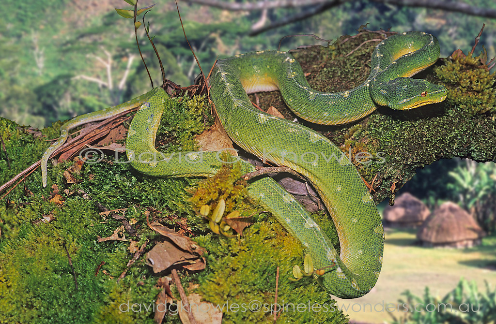 Green Python disturbed by drongo whilst basking in late afternoon