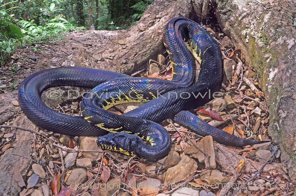 Boelen's Python basks along sun drenched highland track