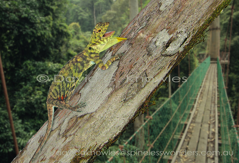 Male Horned Flying Dragon displays alarm at proximity of tree snake