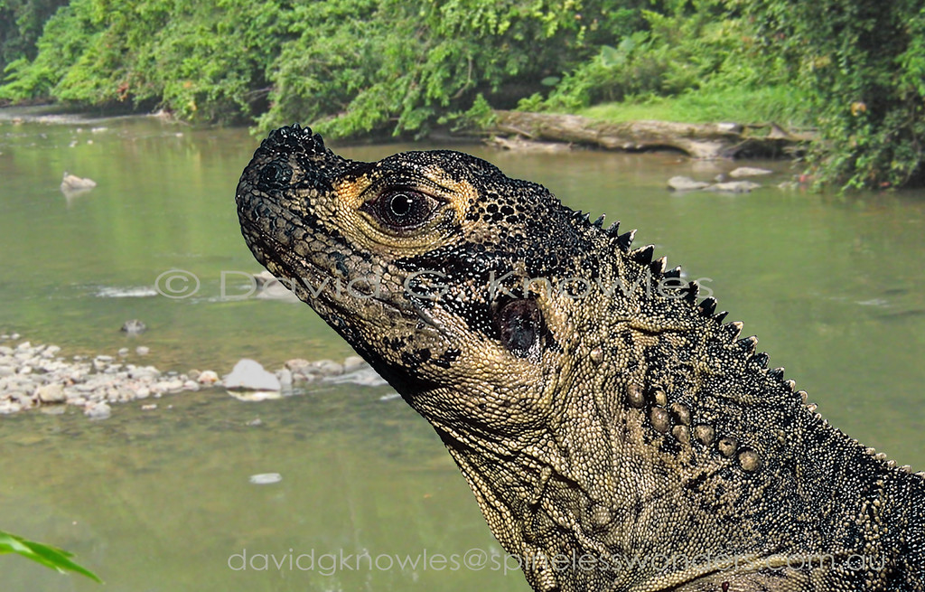 Female Sulawesi Sailfin Dragon surveys stiller feeding waters