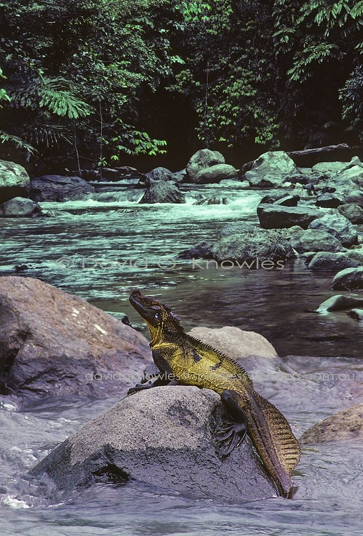 Male Sulawesi Sailfin Dragon surveys stepped rapids territory