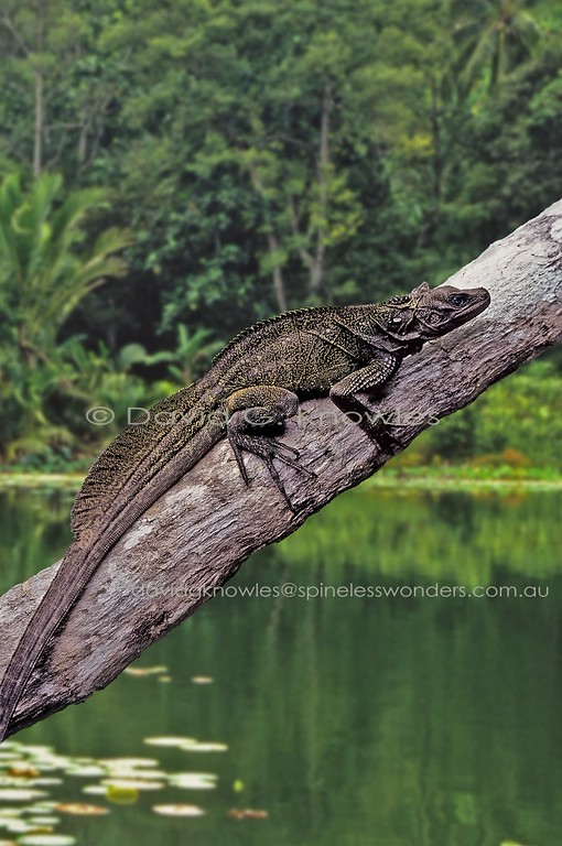 Female Weber's Sailfin Dragon will plunge into Nipa swamp at slightest provocation