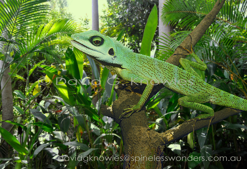 Green Crested Dragon is common in Singapore gardens
