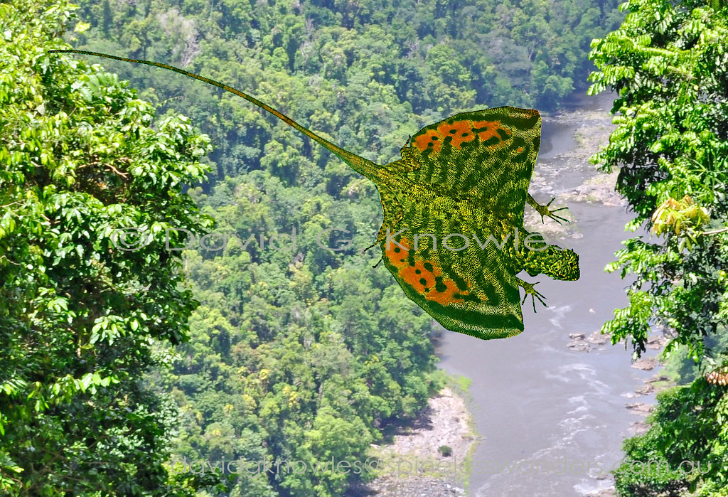 Male Horned Flying Dragon glides between trunks to pursue female