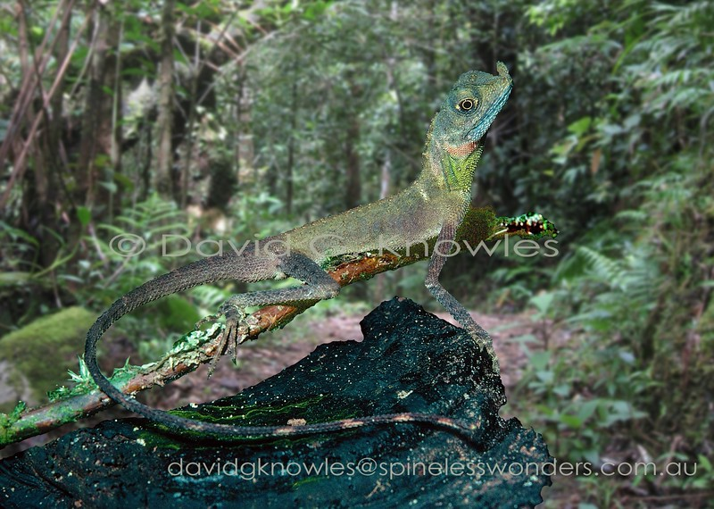 Male Ornate Shrub Lizard developing breeding colours