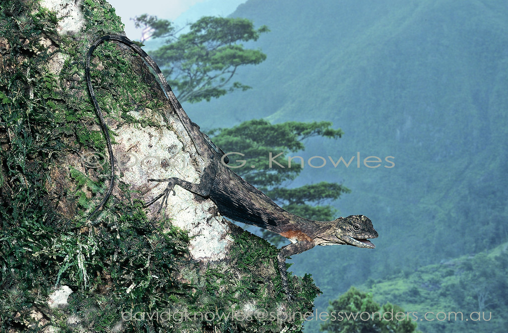 Male Sulawesi Gliding Dragon spies competitor on nearby trunk
